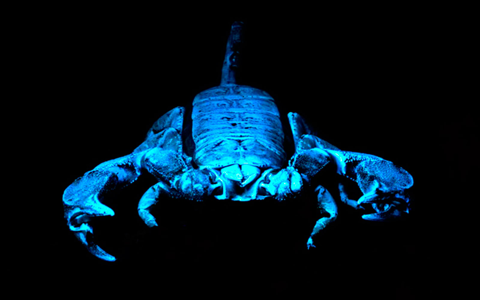 Rock scorpion under ultraviolet light.