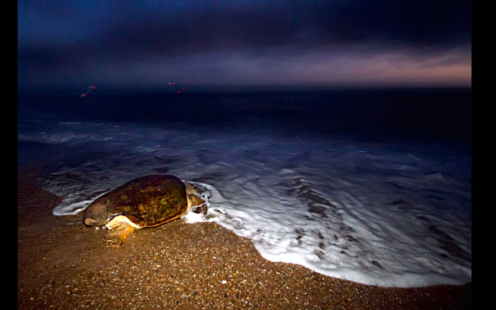 Loggerhead turtle returns to sea after laying eggs, dawn, Mon Repos Beach.