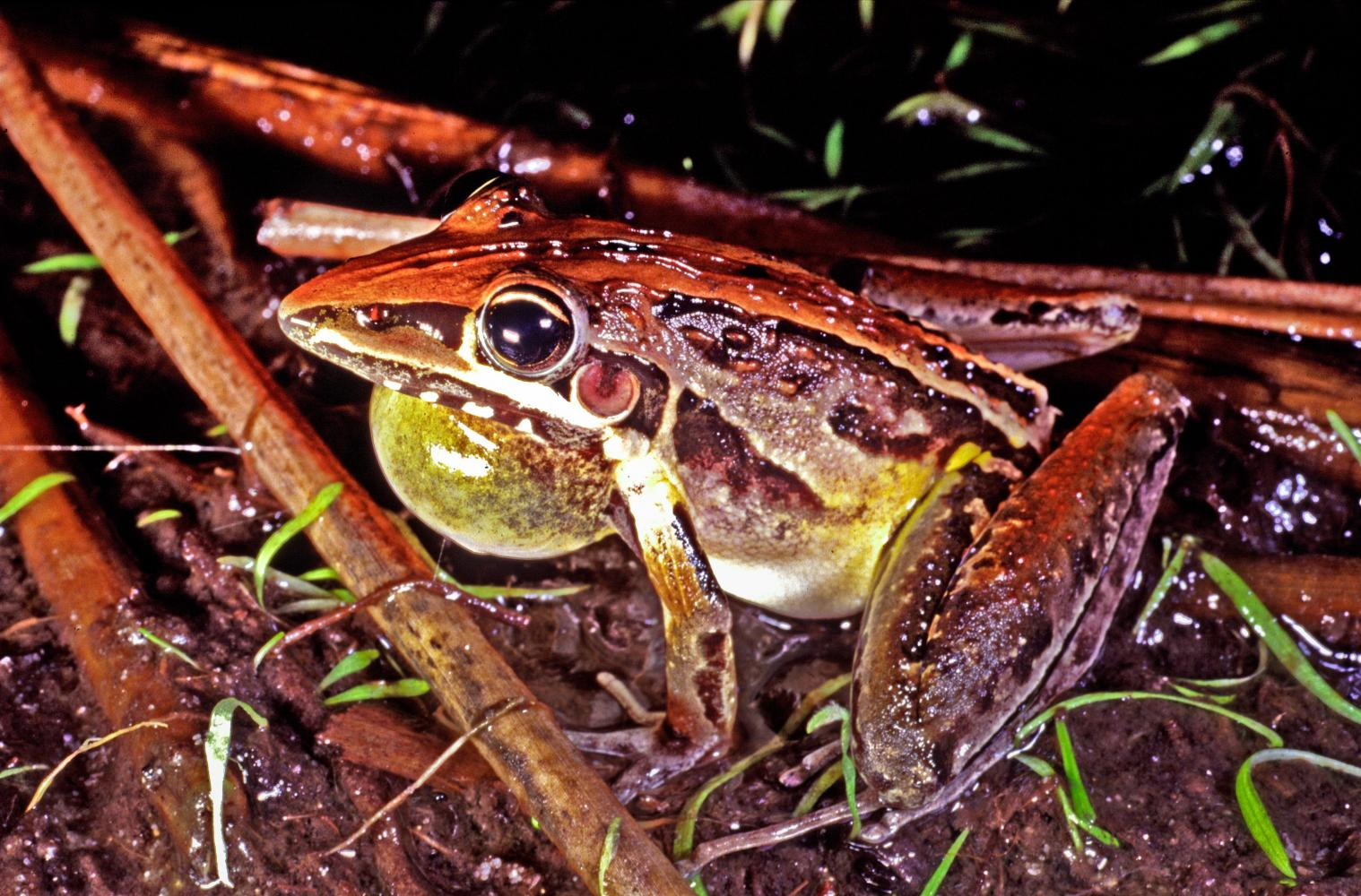 Wallum Rocketfrog (<i>Litoria freycineti</i>). Moreton Island. One of the species of frogs adapted to life in acidic waters.