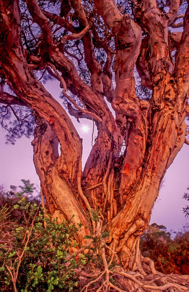 An ancient Broad-leaved Paperbark (<i>Melaleuca quinquenervia</i>) at dusk, with full moon. Moreton Island.